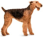 Airedale Terrier dog breed characteristics