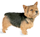 norwich terrier dog breed