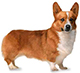 pembroke welsh corgi dog breed