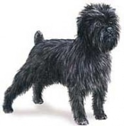 Affenpinscher dog breed characteristics