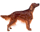 irish setter dog breed